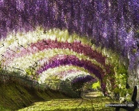 Wisteria Tunnel - Kawachi Fuji Garden, Japan