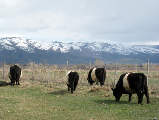 panda cows, powder mountain utah snow, oreo cows, belted galloway cows north america, what is a belted galloway cow, how to belted galloways get their coat, top travel bloggers los angeles, adventure bloggers los angeles, US california travel blogger, best travel blogs los angeles, black travel blogger, fun pictures of snow sports, best snowboarding california, best travel bloggers utah, girl loves travel, beautiful country pictures, cow pictures, animals in utah
