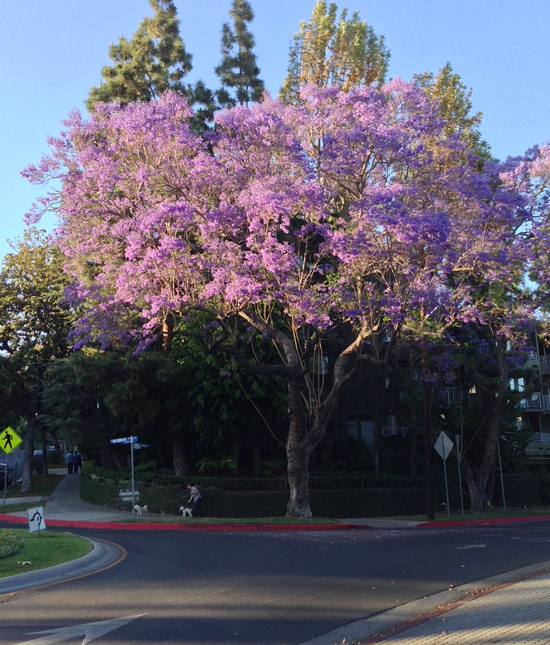 los angeles jacaranda trees, beverly hills jacaranda trees, west hollywood in spring, west hollywood jacaranda trees, what are the purple trees in los angeles, how to clean up jacaranda tree flowers, most beautiful trees in los angeles, trees planted in beverly hills, violet trees in southern california, where do purple trees come from, most beautiful purple trees, girl loves travel