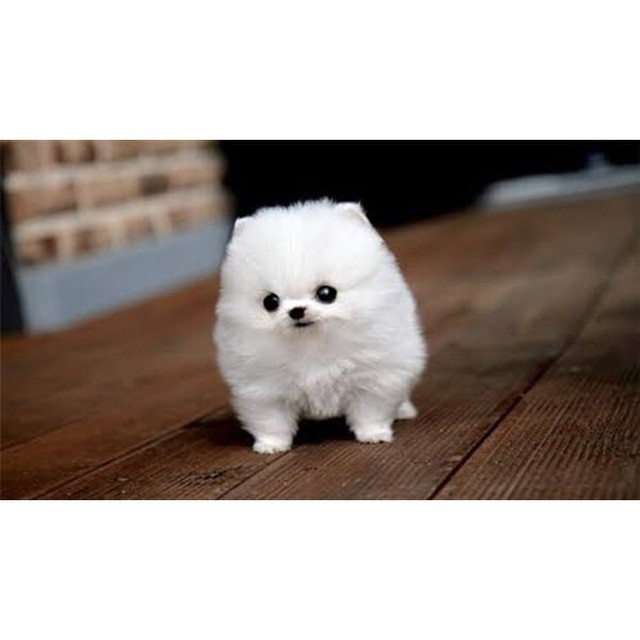 1am...I have been Googling small fluffy white dogs for over 45 mins...I have a problem...they are so cute!...need to find this exact dog...not in real life I just want to follow him on Instagram #help
