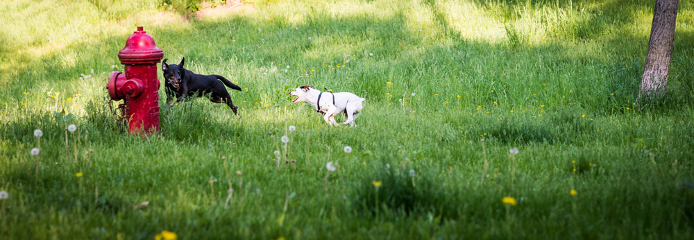 Miles and Alfie enjoying Spring together last year.  At Geneseo dog park.