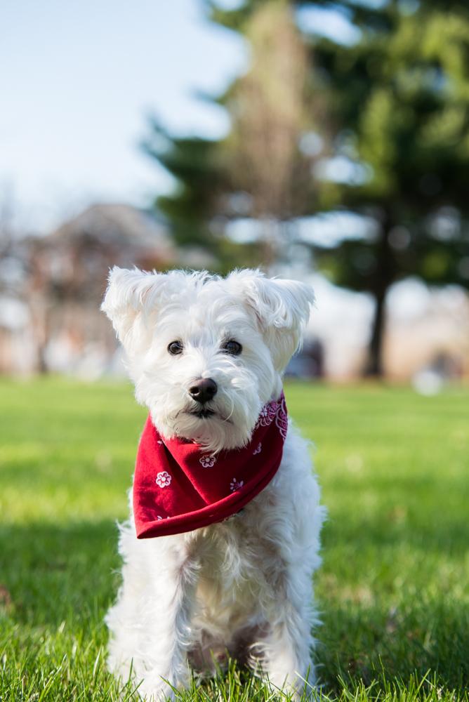 dog-schnauzer-bandana
