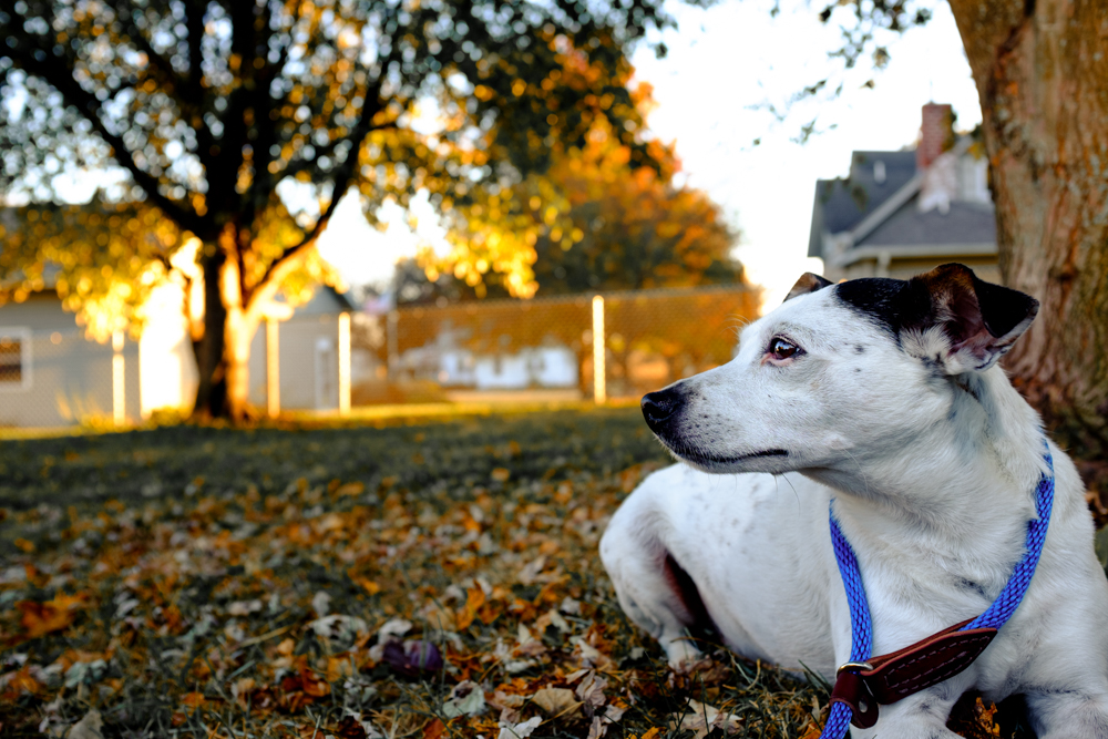 dog terrier white blue fall orange jack