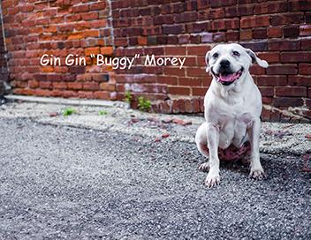senior-pitbull-bricks-alley