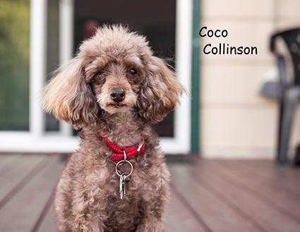 senior-poodle-dog-red