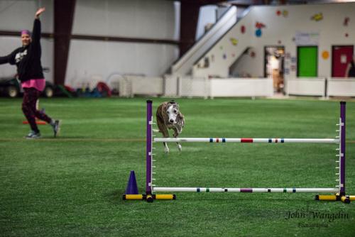 whipet-dog-jump-agility