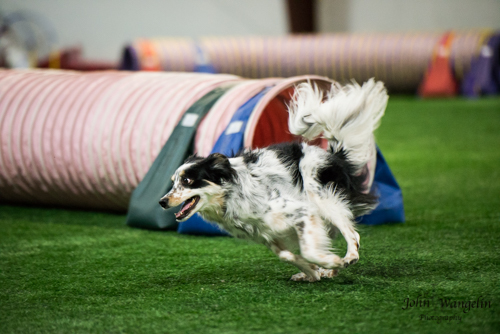 collie-tube-dog-agility