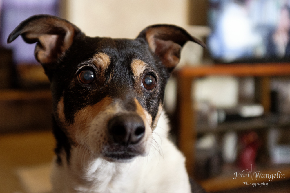 terrier-dog-senior
