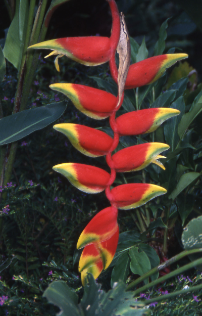 Heliconia CR16.jpg