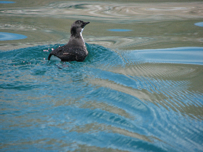 Craveri's Murrelet, near Las Animas.JPG