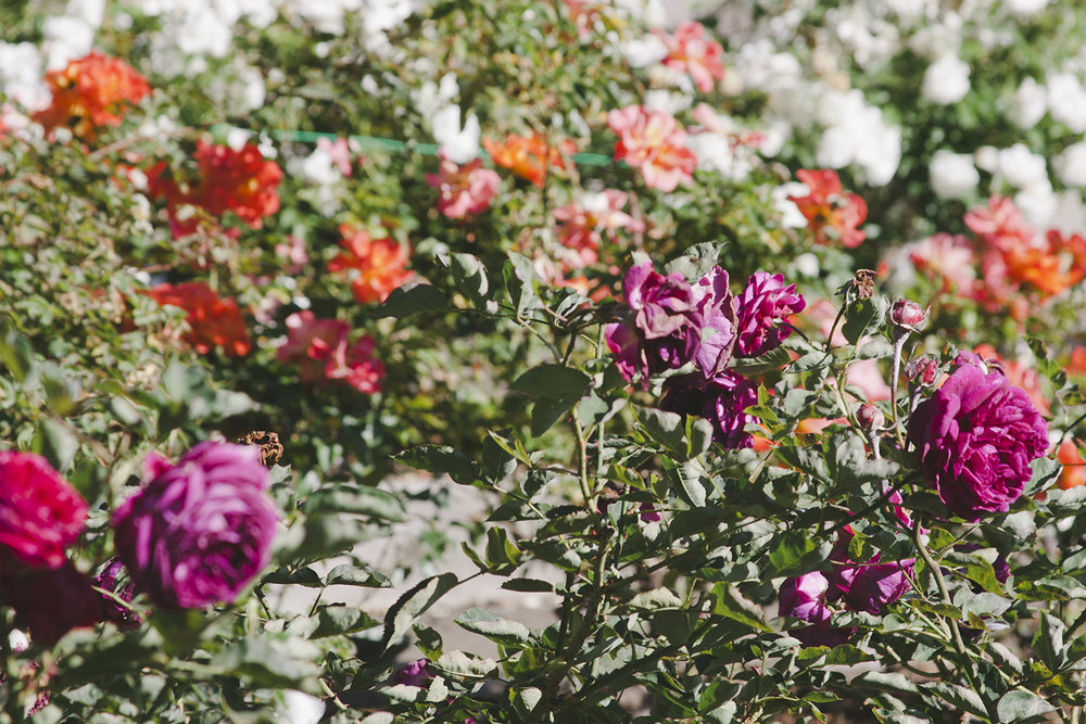 Berkeley Rose Garden from the Print Club Ltd. Journal