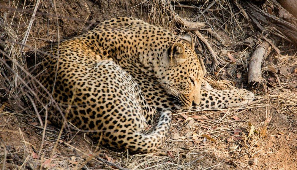sleepy leopard.jpg