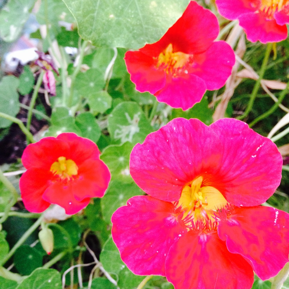 Nasturtiums add brilliant colour to your garden and salads alike