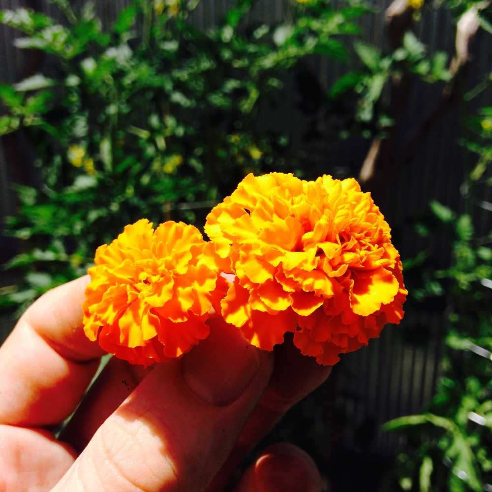 Marigolds (Calendula) keep away pests