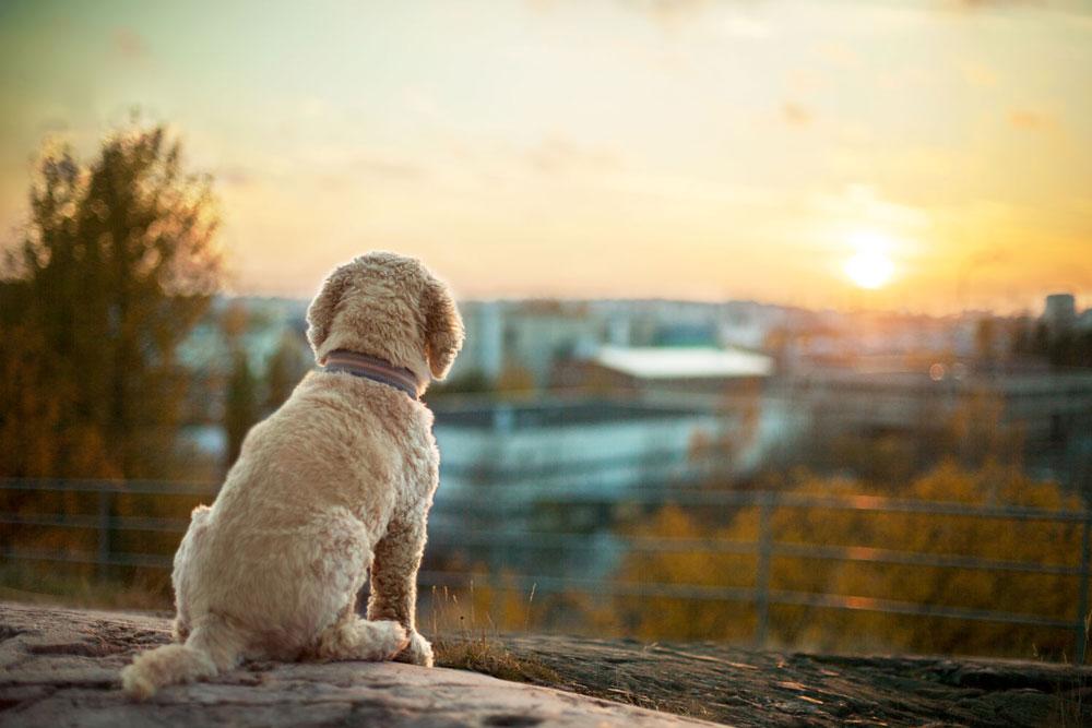 Sulo-koira auringonlaskua ihailemassa Roihuvuoren vesitorninmäellä.
