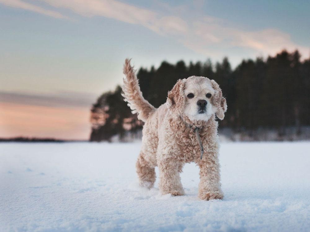 Iltaruskossa jäällä lenkkeilyä talvipakkasilla.