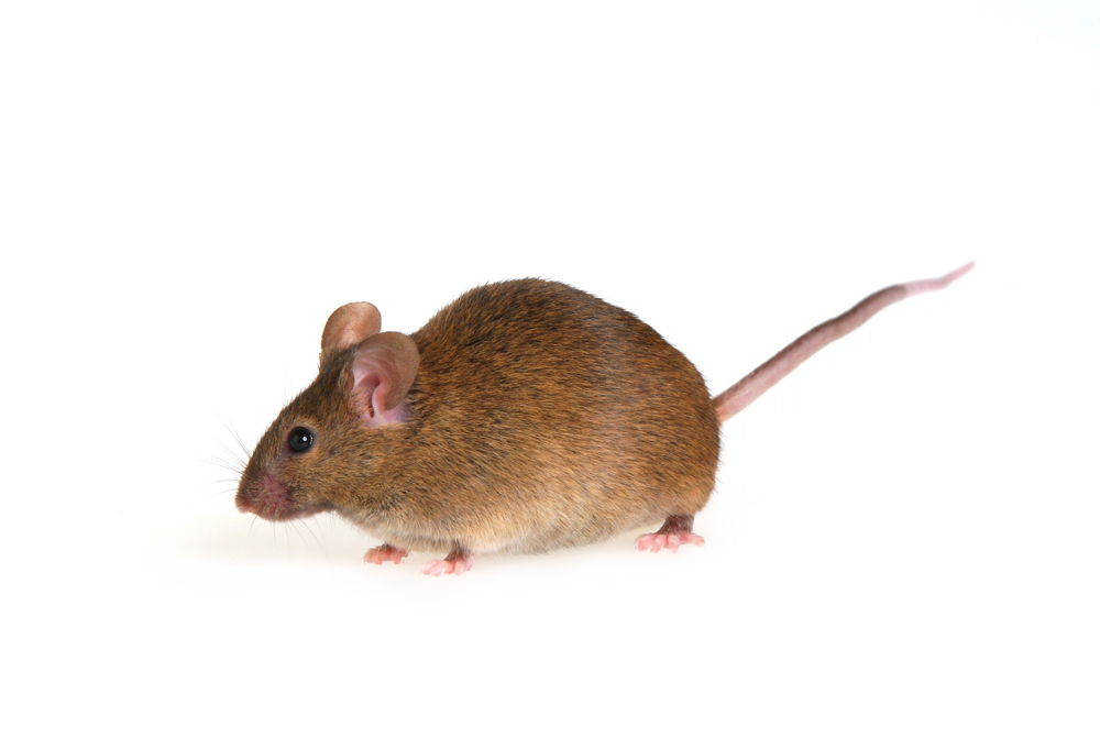 bigstock-Mouse-2108352.jpg