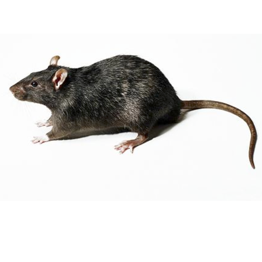Rats Kapow Pest Control in the West