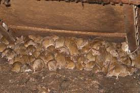 Mice Infestation.jpg