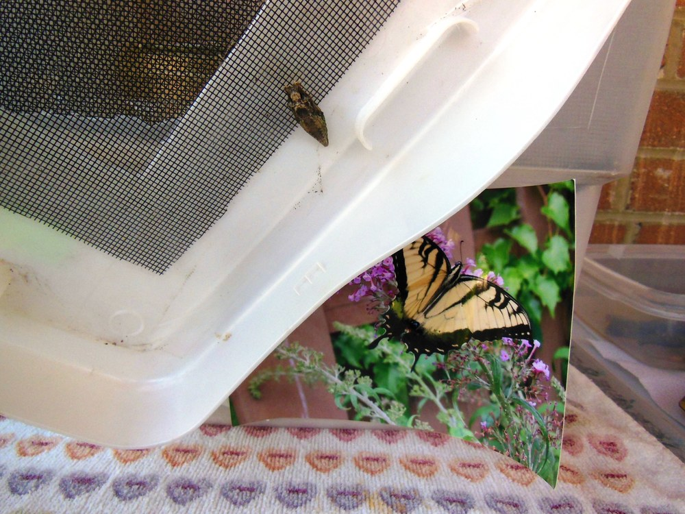 Tiger swallowtail overwintering chrysalis.  Went into chrysalis 8-18-12. Waiting for it to emerge!