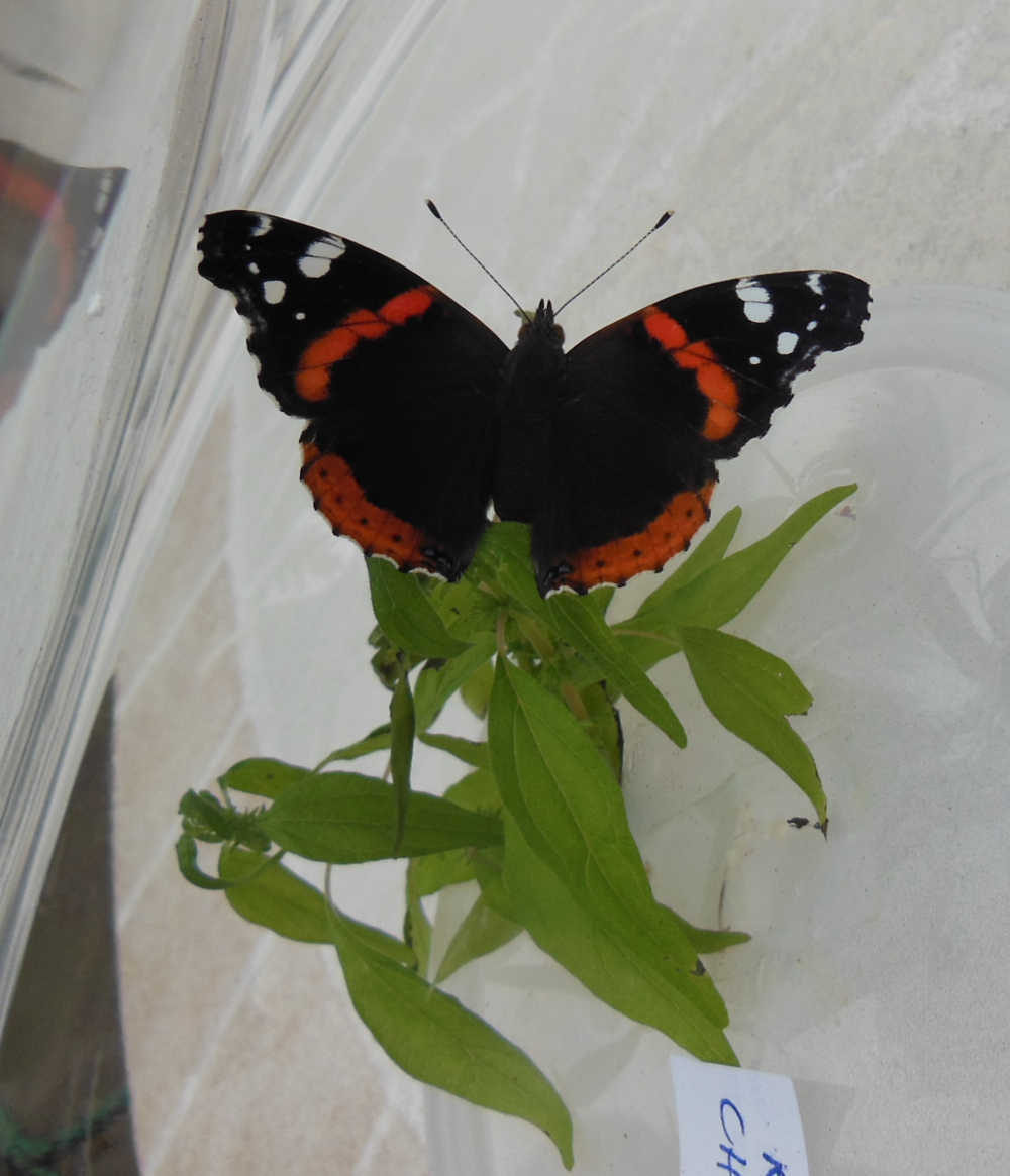 Newborn Red Admiral Butterfly!