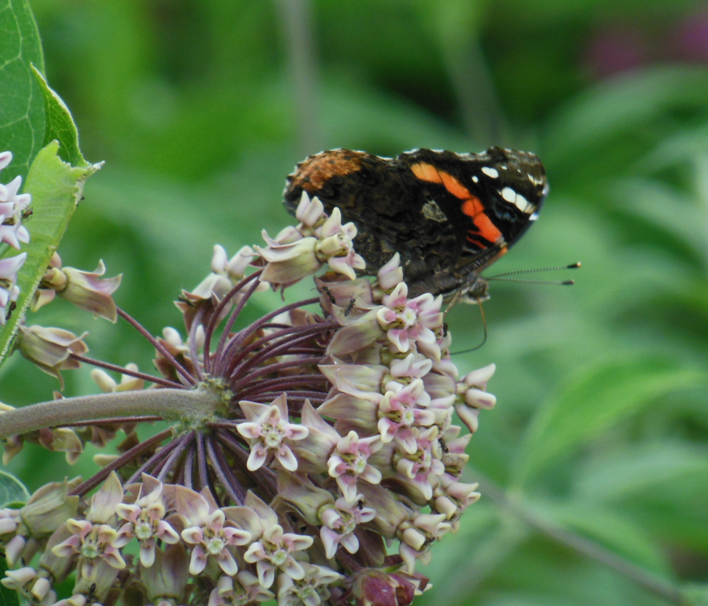 A red admiral sips nectar from the flowering milkweed.