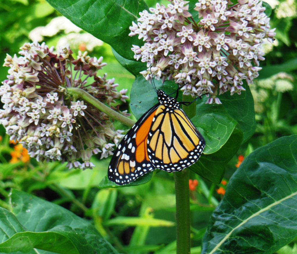 A newly released monarch sticks around enjoying the nectar found in the fragrant milkweed flowers.