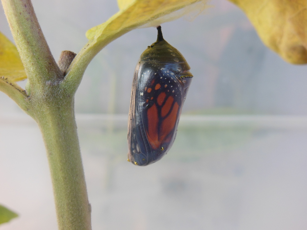 A moment before a newborn monarch emerges. 7:20 a.m. July 23, 2013. Weight: not much!