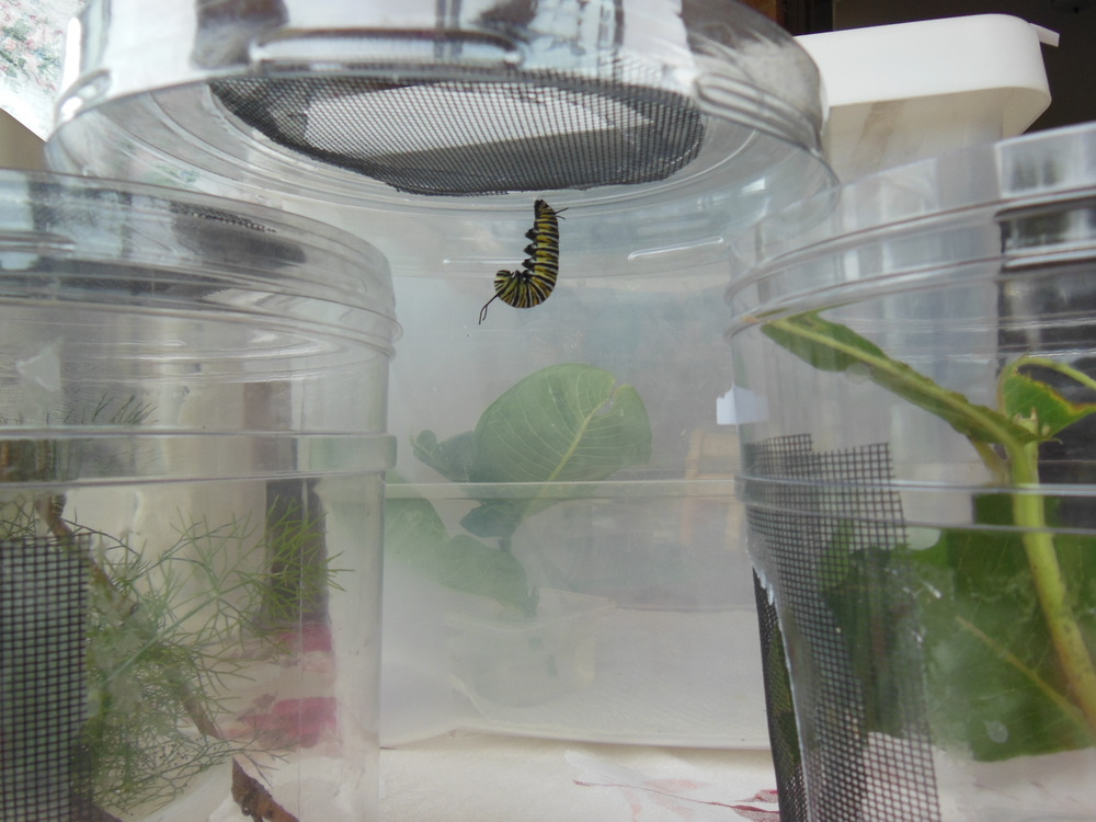 Waiting for this monarch caterpillar to shed it stripes and become a stunning chrysalis!