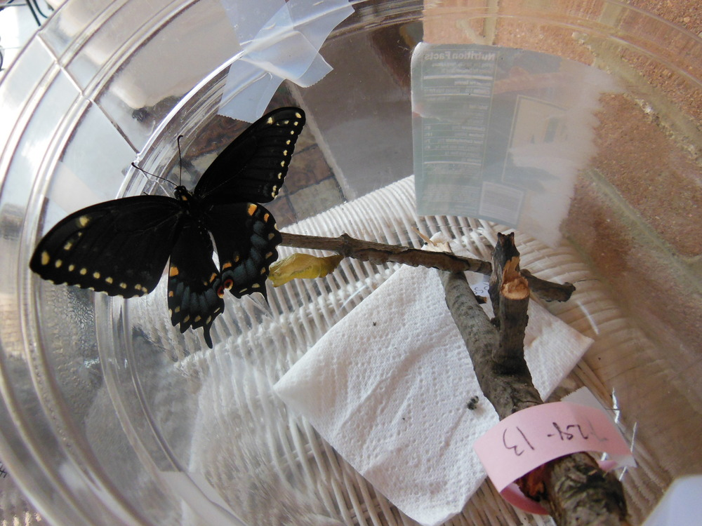 Female black swallowtail (blue cloud on hind wings)