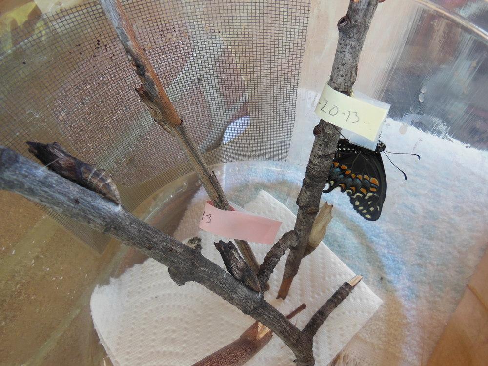 Newborn female black swallowtail!