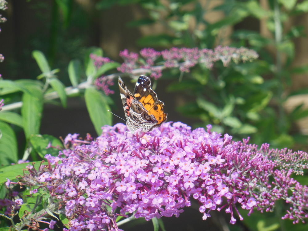 A painted lady dines on the butterfly bush, which smells so sweet!