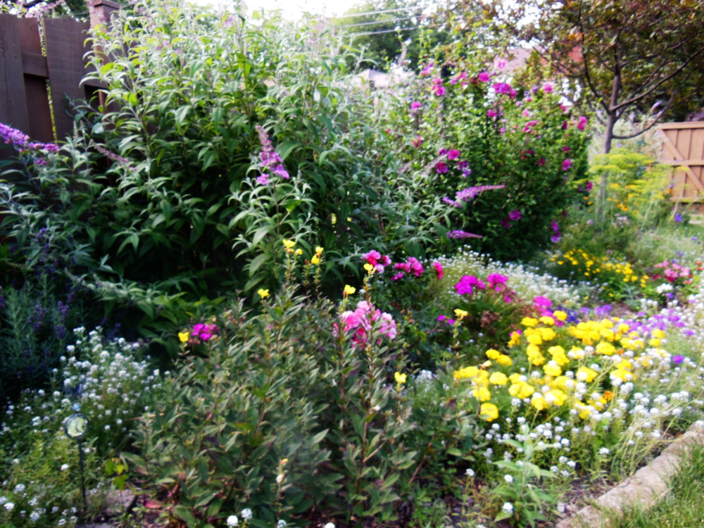 This is what my west garden looks like today. The butterfly bush just started to bloom.