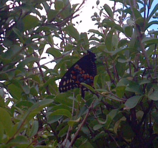 Bfly in Tree2013-07-28_13.jpg
