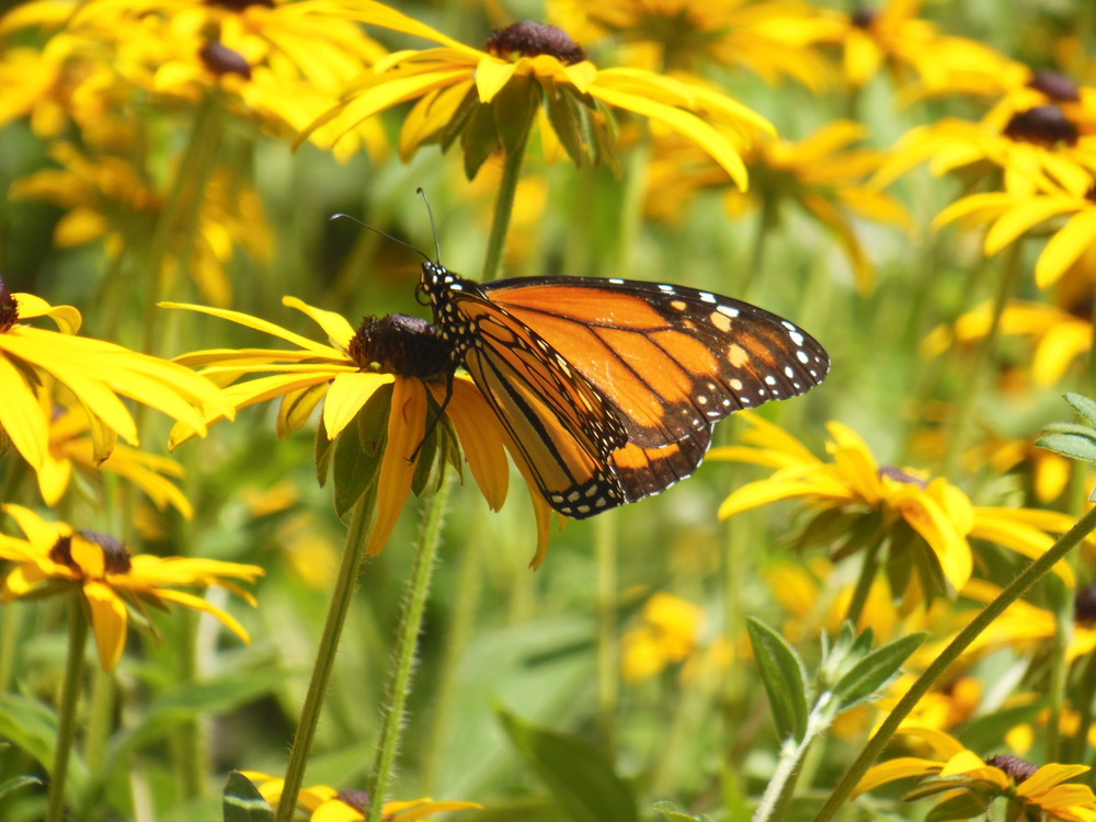 Monarch & the black-eyed Susan