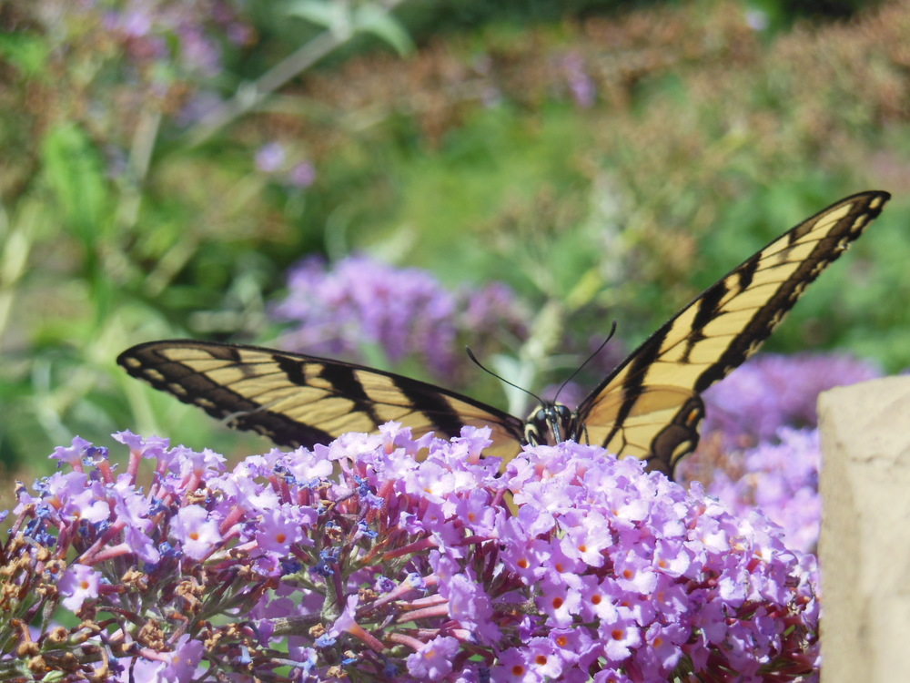 Tiger swallowtail & the butterfly bush