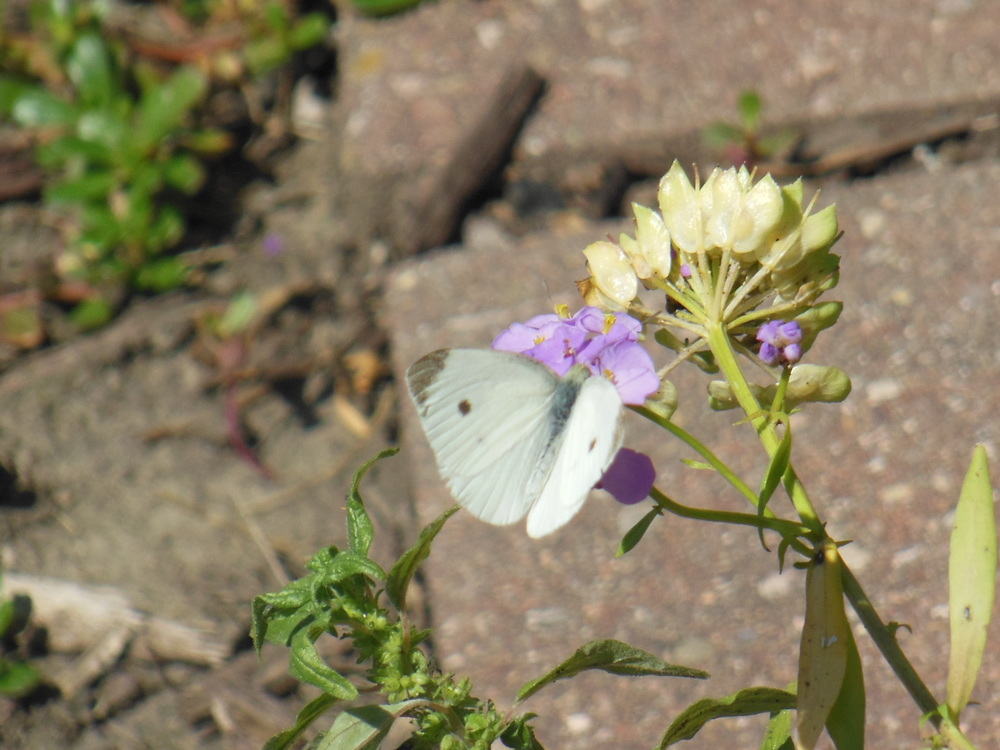 The cabbage white has been ever present this year!!!
