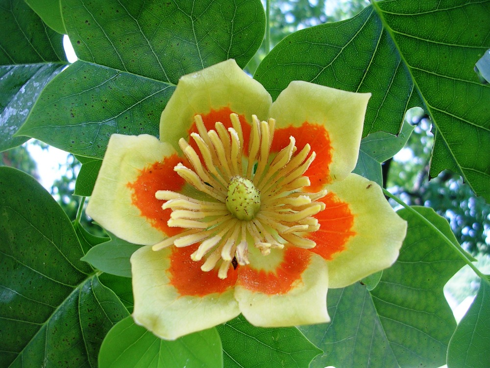 We included this photo taken on June 5, 2011, to show you what the flower of mature tulip trees looks like. I saw this flower on a large tulip tree while I was on a run in the neighborhood in 2011. Our tree has yet to flower.