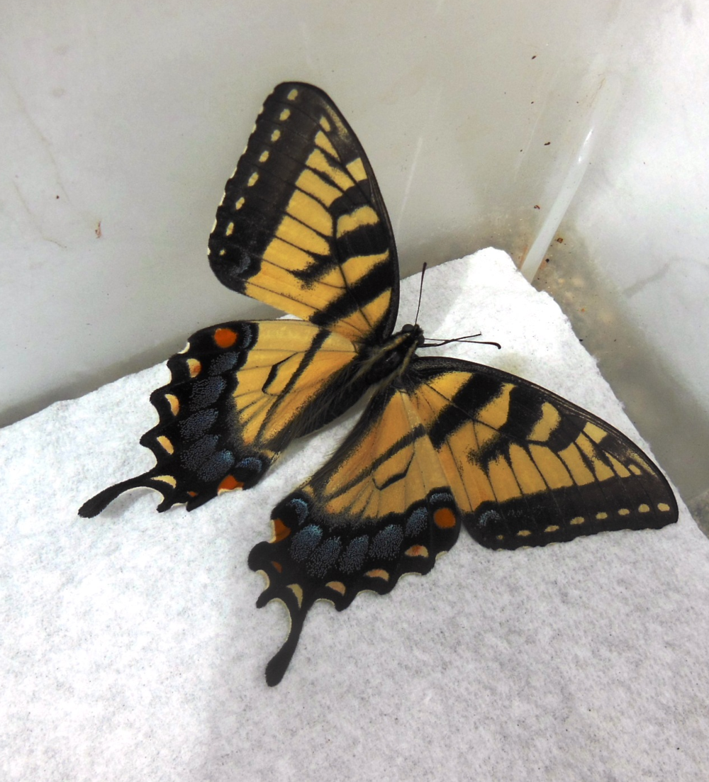 We included this photo of the female tiger swallowtail to show you what this butterfly looks like. If the three cats above grow and develop into chrysalises, the chrysalises will overwinter on our unheated back porch and butterflies will emerge in May 2014!