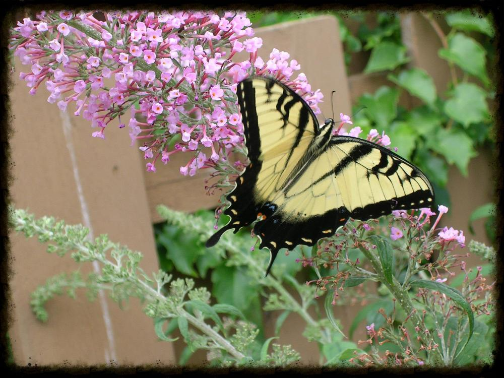tigerswallowtail72505.JPG