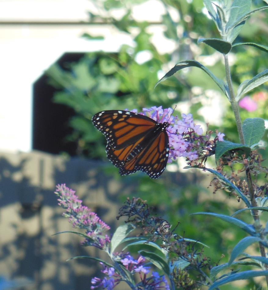 So nice to see this monarch and one other feeding in the backyard today. Hope they make it to Mexico!