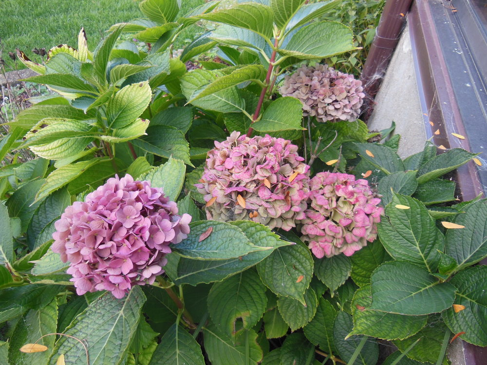 gardenfadinghydrangea102113DSCN3625.JPG