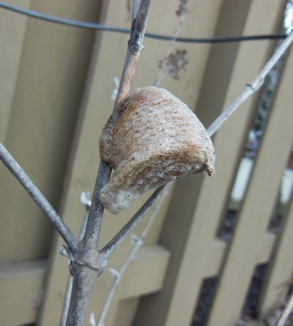 While cutting back the butterfly bushes today, I noticed the attached praying mantis egg sac. How fun is that?? Another polar vortex survivor!