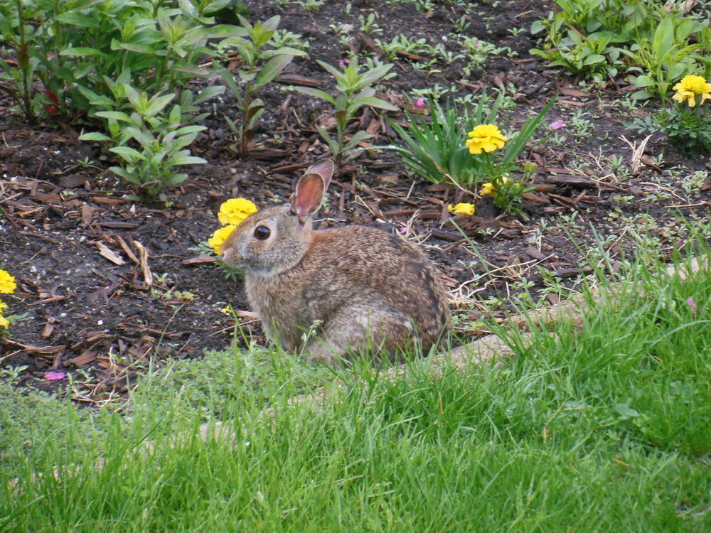 Bun takes a break from devouring my Creeping Thyme!