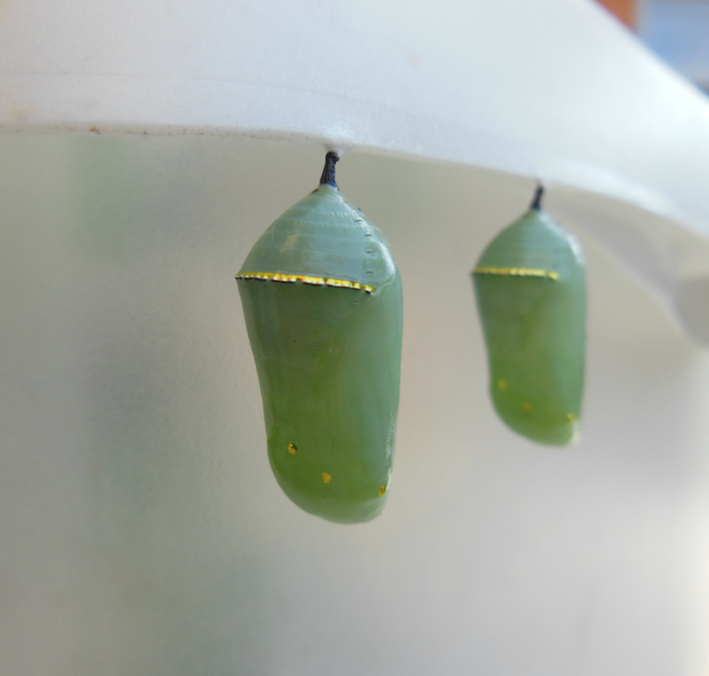 Two stunning monarch chrysalises!