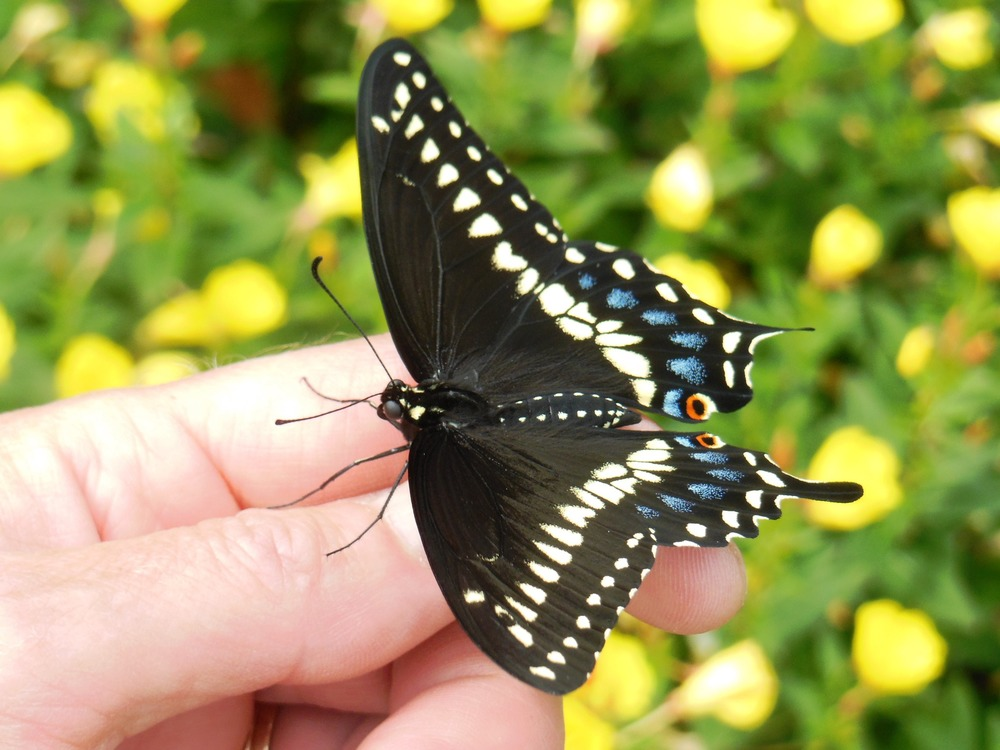 Welcome to the world, black swallowtail!