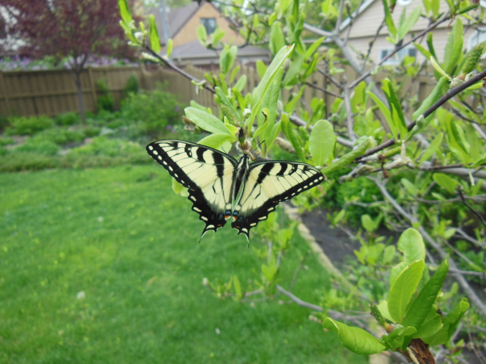We released the butterfly on the star magnolia where it started out as an egg almost a year ago!
