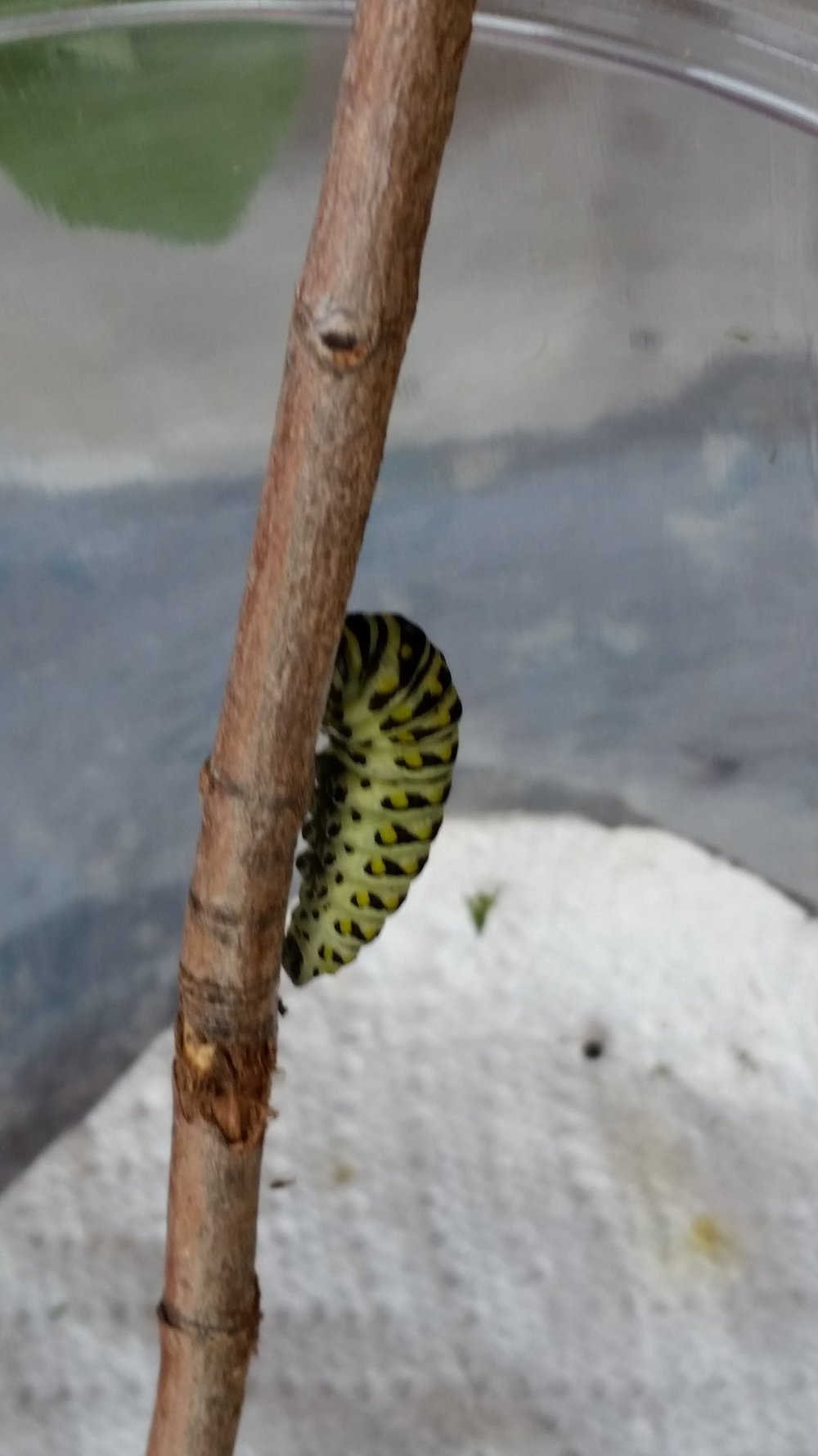 The black swallowtail cat has attached itself to the twig and is ready to go into chrysalis.