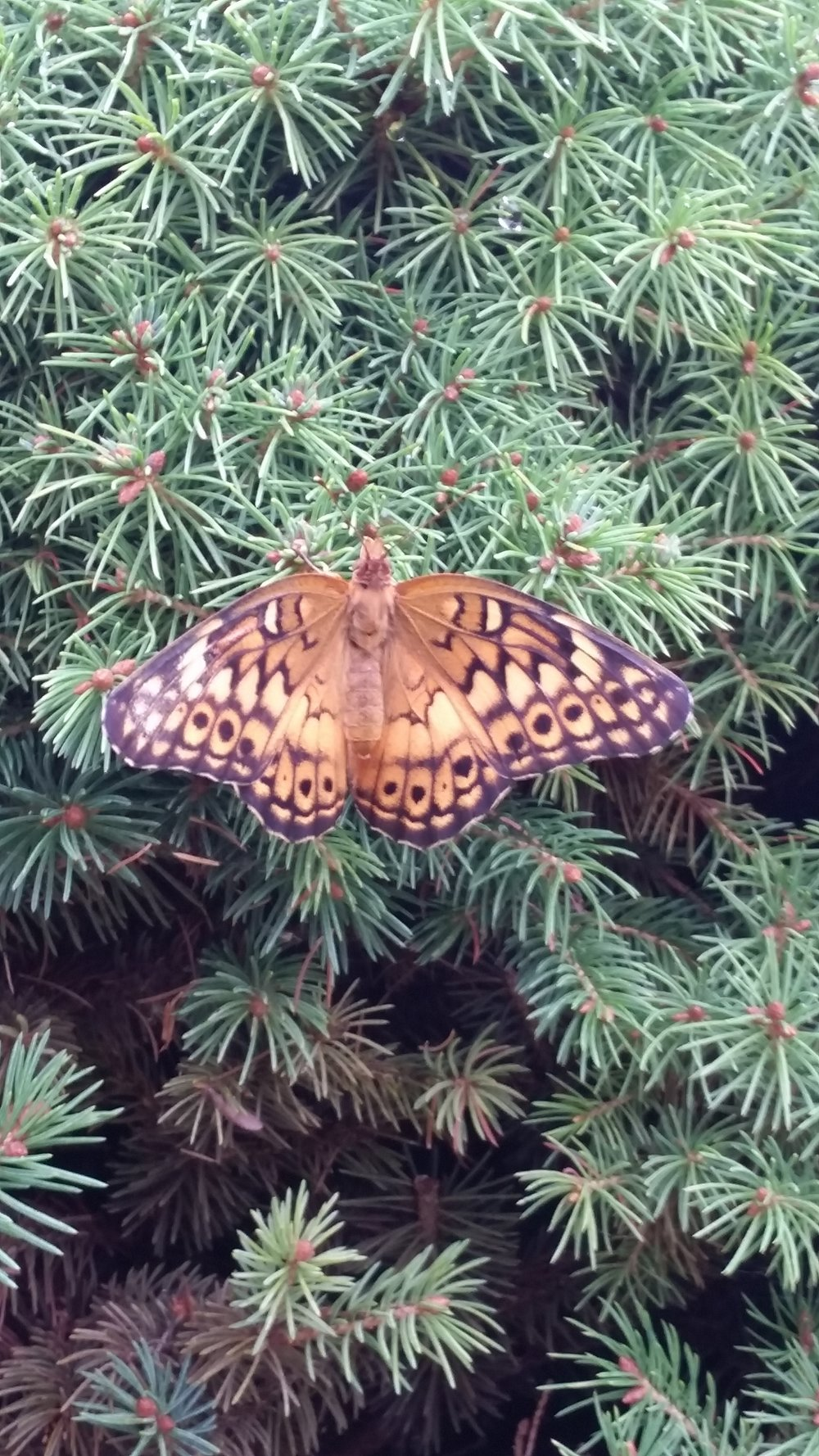 The fritillary stayed on our Alberta spruce for a bit and then flew off!