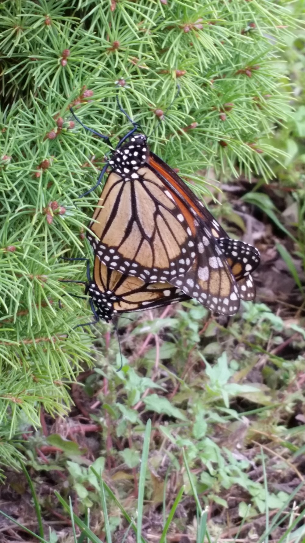 This is the third pair of mating monarchs that I've seen in the yard this summer.